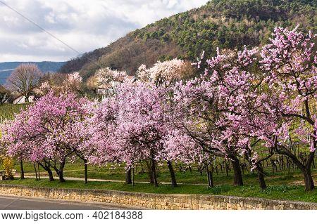 Almond Blossom In Gimmeldingen, Neustadt An Der Weinstrasse, German Wine Route,  Rhineland-palatinat