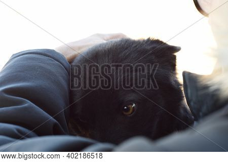 Dog Body Language: Scared Stray Dog With Ears Flattened Hiding Under Humand Hand