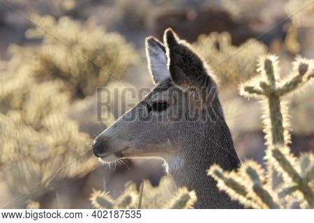 Profile of desert Deer in Red Rock Canyon National Conservation Area near Las Vegas, Nevada.