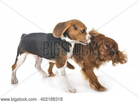 Beagle Dog And Cavalier King Charles In Front Of White Background