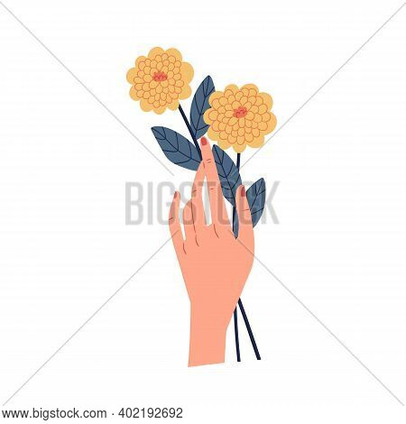 Female Hand Holding Two Yellow Chrysanthemums Isolated On White Background. Even Number Of Flowers.