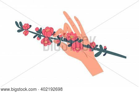 Female Hand Holding Green Quince Branch With Gorgeous Blooming Pink Flowers Isolated On White Backgr