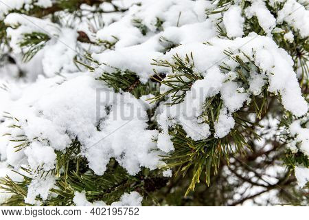 Pine Branches With Needles Covered With Hoarfrost And Snow On Frosty Day. Falling Snow. Frosty Winte
