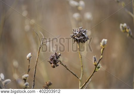 Dry Leaves On A Spring Blooming Willow. Young Willow Closeup Shoot In Spring. Leaves On The Tree Lik