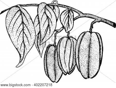 Hand Drawn Carambola. A Slice Of Carambola. Exotic Tropical Fruit. Vector Hand Drawn. Sketch Botanic