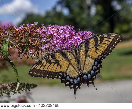 Papilio Glaucus, The Eastern Tiger Swallowtail, Is A Species Of Swallowtail Butterfly