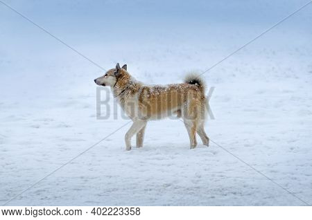 Young Dog On A Winter Day In A Garden. Mongrel Dog Playing In The Snow. Portrait Of Dog In Winter