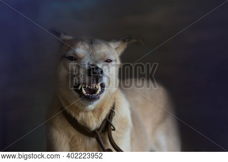 Sad Aggressive Dog With Opened Mouth. Aggressive Dog Is Barking. Barking Angry Dog Close Up Portrait