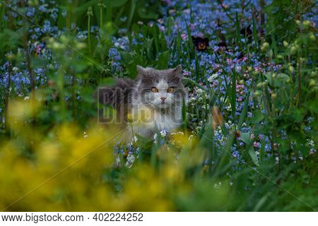 Forget-me-not Flowers And Cat In Garden