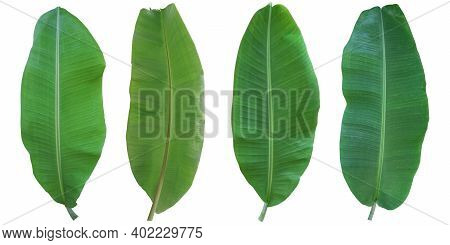 Banana Leaf Isolated On White Background. Banana Leaf Green Fresh. With Clipping Path