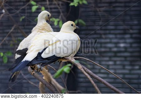 The Pied Imperial Pigeon Bird Is Rest In The Garden