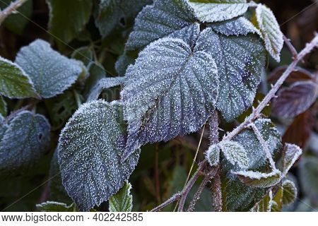 Frozen Colorful Leafs . Multicolored Leaves Covered With Hoarfrost Close-up. Abstract Nature Backgro