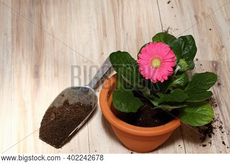 Replanting Of Potted Flower Gerber Daisy At Home.  Seedling Is Replanting Into Bigger Flower Pot. Co