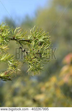 Larch Diana Branch - Latin Name - Larix Kaempferi Diana