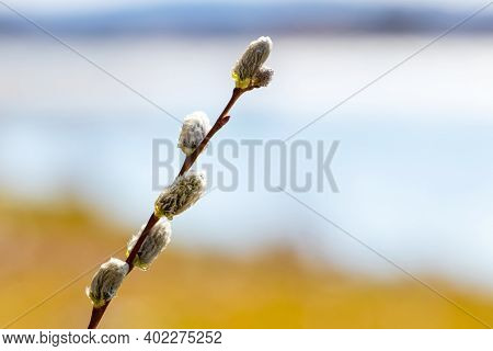 Wet Willow Branch With Catkins On A Blurred Background