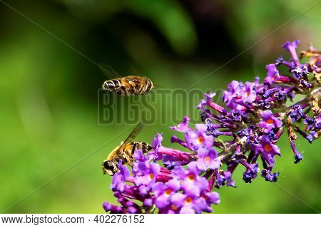 A Close Up Portrait Of Two Bees. One Is Sitting On The Purple Flowers Of A Branch Of A Butterfly Bus