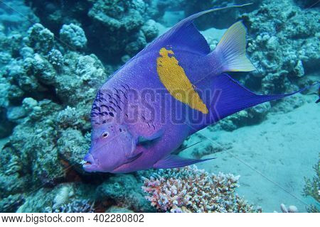 Beautiful Underwater Scene With Yellowbar Angel Fish ( Pomacanthus Maculosus)