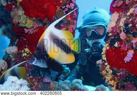 Man Scuba Diver Admiring Shoal Of Beautiful Bannerfish Near Coral Reef (heniochus Intermedius)