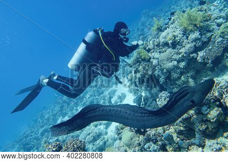 Scuba Diver In The Sea And Giant Moray Eel