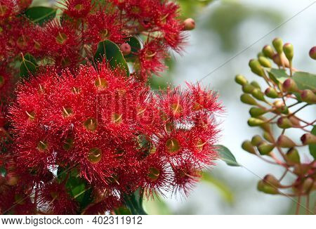 Red Blossoms And Buds Of The Australian Native Flowering Gum Tree Corymbia Ficifolia Wildfire Variet