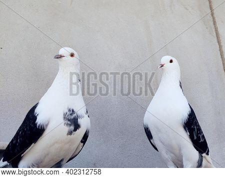 Close-up Of A Domestic White Pigeon With On Red Leg Up On Black Cement And Red Rock,outdoors Birds,