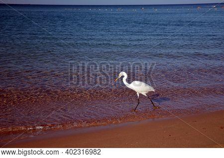 White heron in Egypt, Sharm El Sheikh. Red Sea