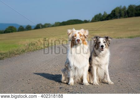 Two Dogs, Blue Merle Border Collie And Red Merle Australian Shepherd Sitting Outside On The Way.