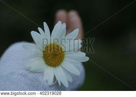 White Daisy Flower In Hand. Beauty In Fragility And Still Life Concept. Self Love And Care Conceptua