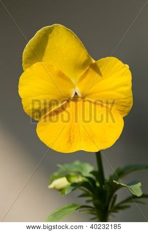 Yellow Viola cornuta (horned violet) in the garden