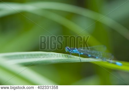 Blue Dragonfly On A Green Leaf. A Dragonfly With Big Eyes Close-up Sits On A Green Leaf Of A River P