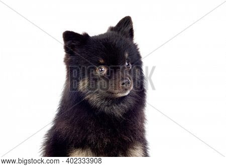 Cute black dog with a fluffy hair isolated on a white background