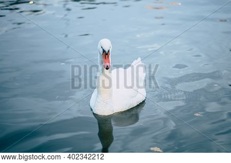 White Swan On The Water Surface. Front View Of Elegant Waterfowl