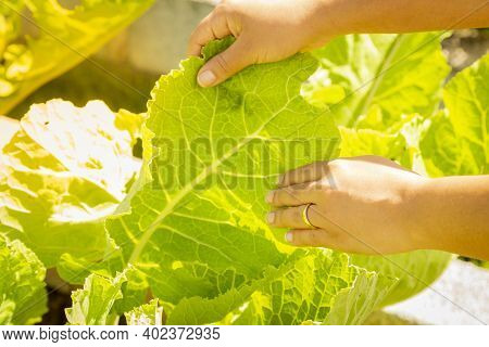 Hand Holding Cabbage Leaf In Plantation, With Sun On The Left.