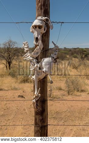 Baboon Skeleton Attached To A Wooden Post Of A Fence