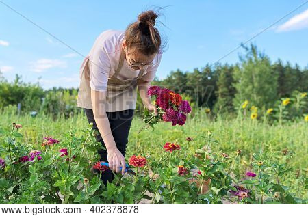 Woman Gardener In An Apron With Garden Scissors Tearing A Bouquet Of Zinnia Flowers In A Vegetable G