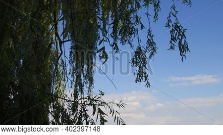 Willow Tree With Osier Branches Swing By Wind. Green Branches And Leaves Of Willow Tree Against Blue