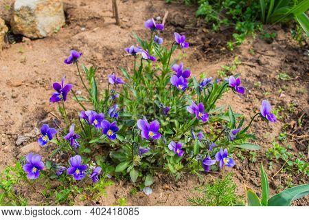 Garden Flowers - Violets. Perennial Violet (viola Tricolor) Or Pansies, Or Horned Violet. Soft Selec