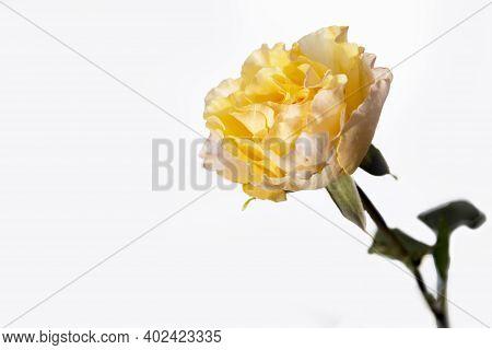 Orange Rose Of Candlelight Close Up Against Pale Grey Background.