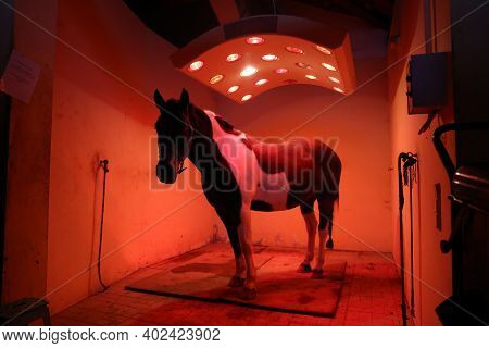 Young Horse Enjoying Equine Solarium At Rural Riding Hall Winter Time