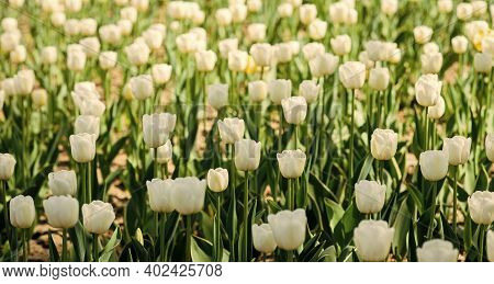 Spring Backdrop. Tulips Field. White Tulips Blooming. Happy Mothers Day. Womens Day Concept. Spring