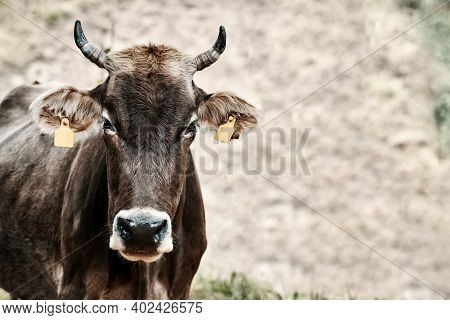 Cow With Ear Tags. Bull Grazing In A Field, Portrait. Dark Stern Bull Against The Gray Earth. Domest