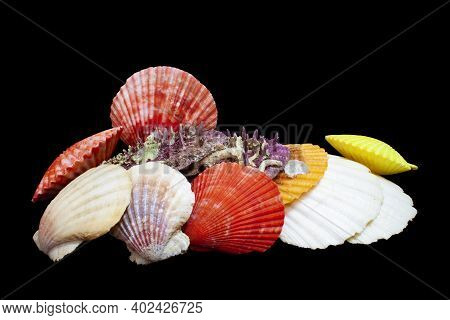 My Private Collection Of Shells: Bivalve.\nwonders Of The Sea\naequipecten Opercularis, Chlamys Glab