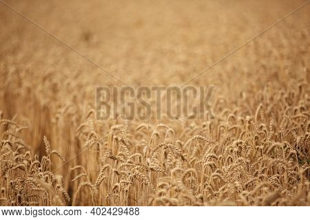 Ears Of Golden Wheat Closeup. Wheat Field. Beautiful Wheat Ears Background. Fresh Crop Of Wheat