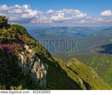 Pink Rose Rhododendron Flowers On Summer Mountain Slope. Pip Ivan Mountain, Carpathian, Ukraine.