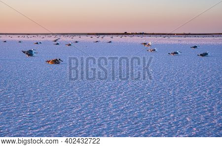 Seagull Birds On Sunset Genichesk Pink Extremely Salty Lake (colored By Microalgae With Crystalline