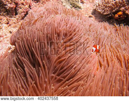 Little Ocellaris Anemonefish Or False Clown Fish Amphiprion Ocellaris Inside Of The Magnificent Sea