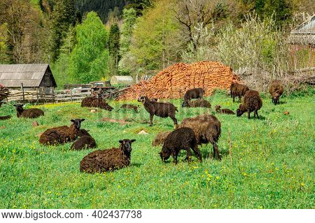 Flock Of Sheep And Lambs In The Meadow Against Backdrop Of Mountains. Farmer Sheep Graze In A Field