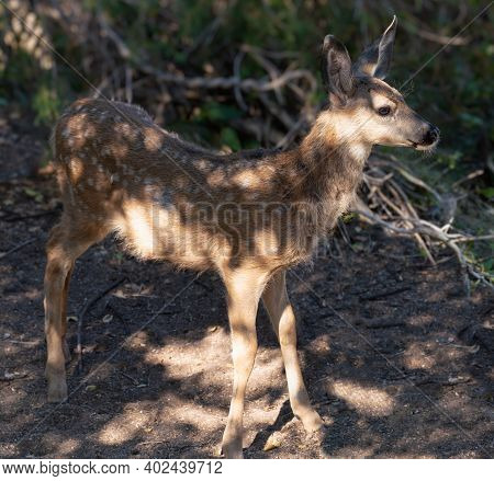 A Fawn Stands in the Dappled Light of a Forest