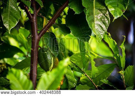 View Of Cacao Fruits Hanging In A Cacao Tree. Yellow Color Cocoa Fruit (also Known As Theobroma Caca