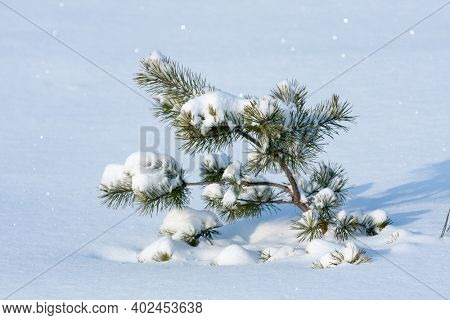 little pine tree under snow on meadow